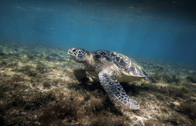 Green sea turtle Chelonia mydas resting in sea grass underwater. Green sea turtle Chelonia mydas resting in sea grass at Apo island, Philippines royalty free stock image