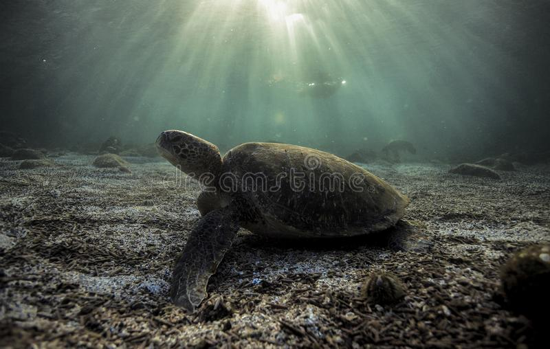 Green sea turtle Chelonia mydas resting on sandy ocean floor. Green sea turtle Chelonia mydas resting on ocean floor in the Galapagos islands, South America royalty free stock photography