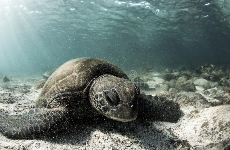 Green sea turtle Chelonia mydas resting on sandy ocean floor. Green sea turtle Chelonia mydas resting on ocean floor in the Galapagos islands, South America stock photos