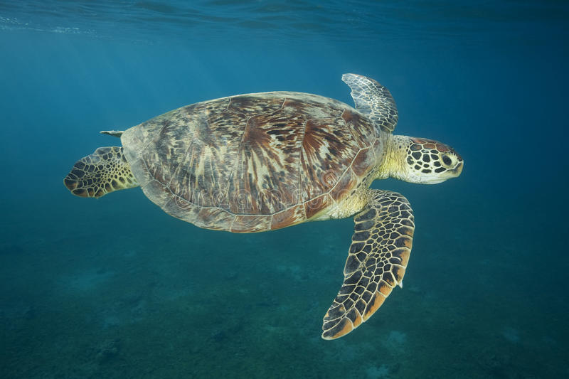 GREEN SEA TURTLE/ chelonia mydas. GREEN SEA TURTLE SWIMMING CLOSE TO SURFACE stock photo