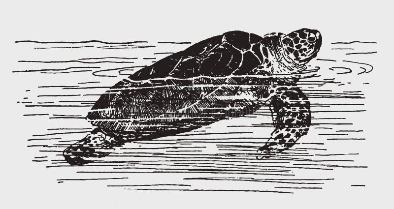 Green sea turtle chelonia mydas swimming royalty free stock photos