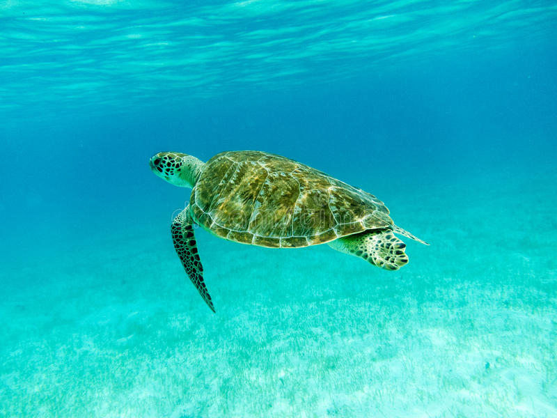 Green Sea Turtle (Chelonia mydas) Swimming. Green Sea Turtle (Chelonia mydas) swimming in sunlit, turquoise, shallow Caribbean seas. Tobago Cays, Marine Park stock image
