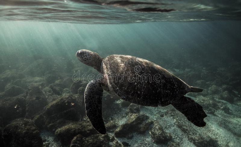 Green sea turtle Chelonia mydas swimming underwater in the Galapagos Islands. South America stock images
