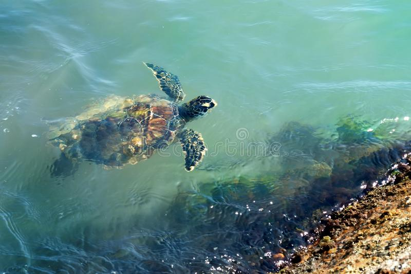 Green sea  turtle Chelonia mydas swims in the water. Status  Threatened.  Texas, Gulf of Mexico royalty free stock photos
