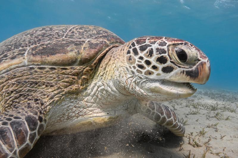 Green sea turtle on the tropical sea bottom close up, underwater stock image