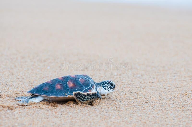 The green sea turtle Chelonia Mydas walking on the beach. Green sea turtle The scientific name is Chelonia Mydas. On the beach, walking down to the sea stock photo