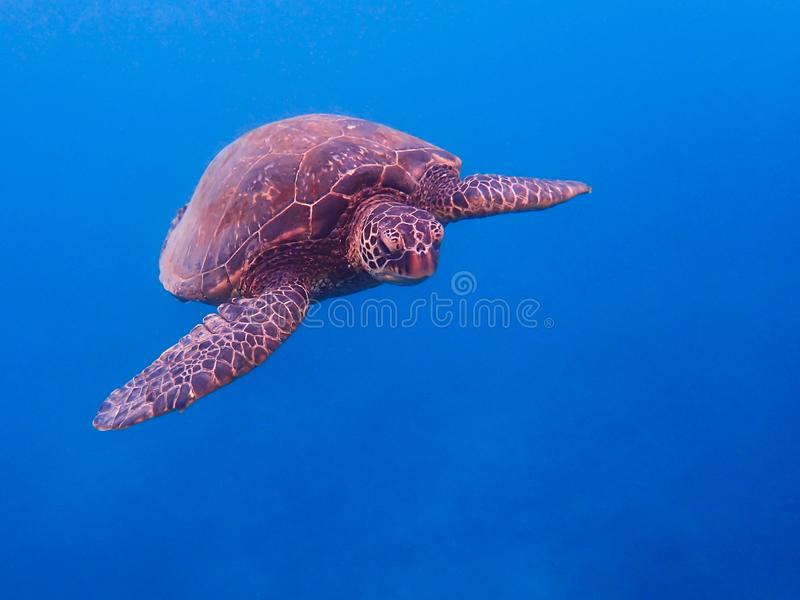 Green Sea Turtle Face First Close Up Underwater royalty free stock photography