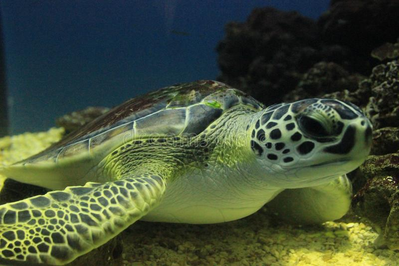 Green Sea Turtle. Closeup of a green sea turtle resting on the sandy bottom of the ocean stock photography