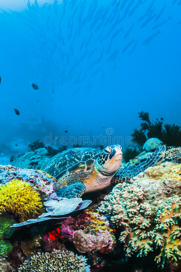 Green Sea turtle on colorful coral reef underwater and blue background royalty free stock photography