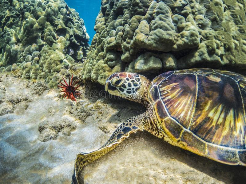 Green Sea Turtle with Colorful Shell with Red Sea Urchin Maui Hawaii. This beautiful Hawaiian Green Sea Turtle is resting near the coral on the sand in Maui stock images