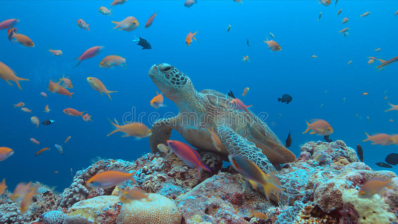Green Sea turtle on a Coral reef. Green Sea turtle on a colorful coral reef with plenty fish stock image