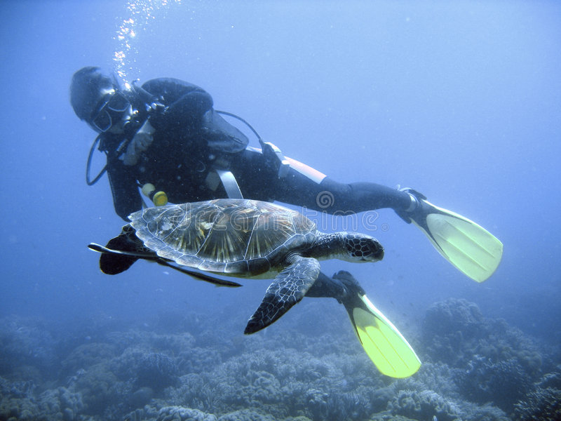 Green sea turtle and diver. Endangered green sea turtle swimming with diver stock photo