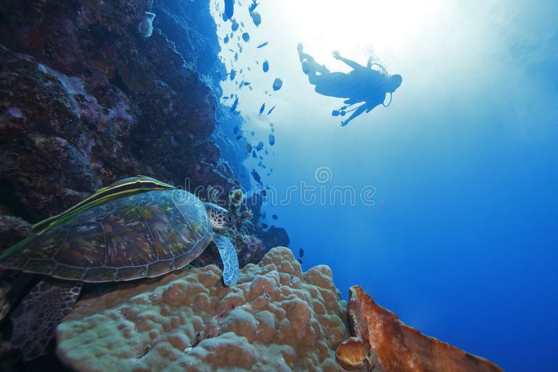 Green Sea Turtle and diver in background stock photography