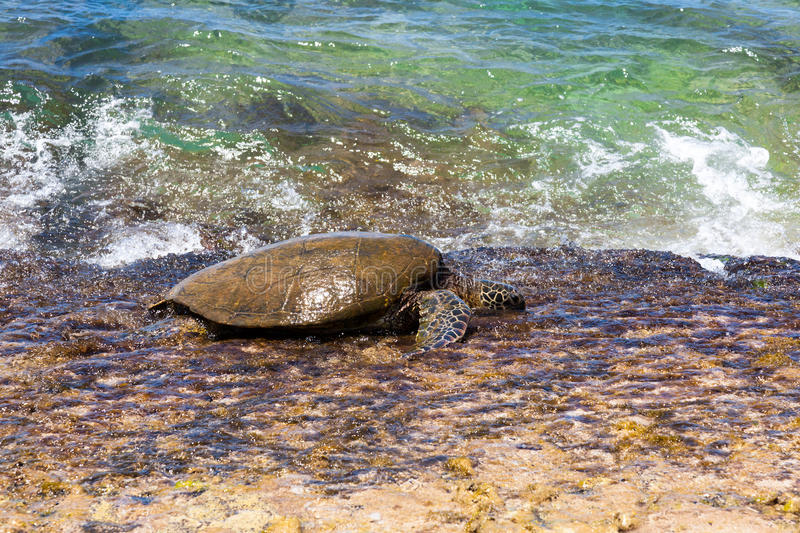 Green sea turtle at the edge of the beach. stock photography