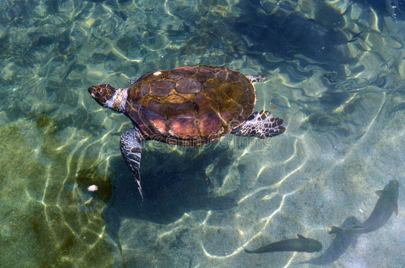 Green sea turtle in Eilat Israel. EILAT, ISR - APRIL 14 2015:Green sea turtle in the Underwater Observatory Marine Park in Eilat, Israel.It is the only Marine stock photos
