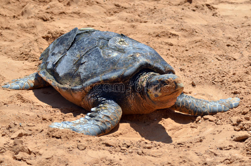 Green sea turtle in Eilat Israel. EILAT, ISR - APRIL 14 2015:Green sea turtle in the Underwater Observatory Marine Park in Eilat, Israel.It is the only Marine royalty free stock image