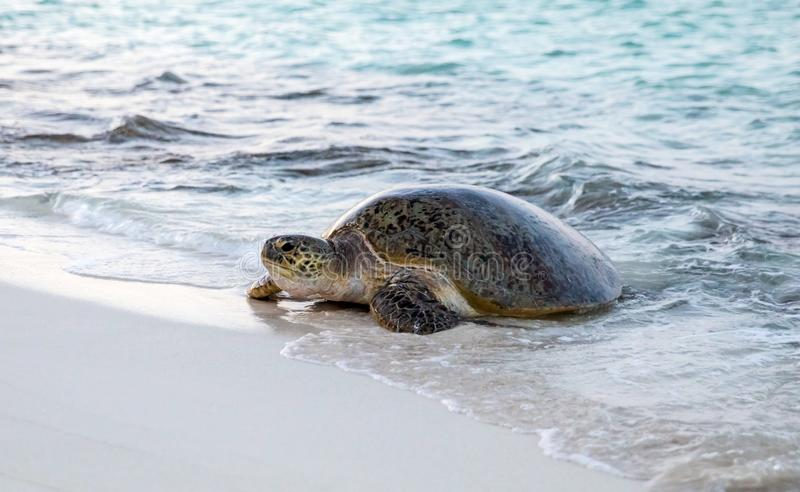 Green sea turtle entering the beach. A green sea turtle comes up on the beach to lay eggs in the evening on Heron Island, Queensland Australia stock photo