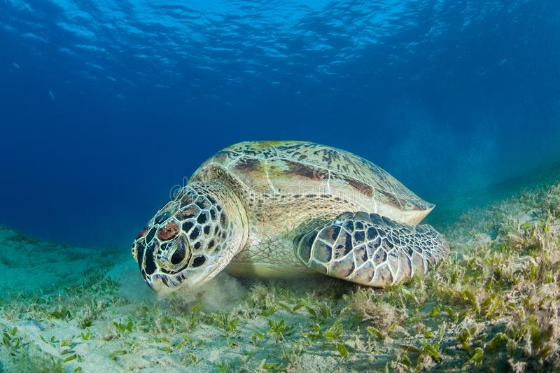 Green sea turtle feeding in a sea grass meadow. Red Sea, Egypt royalty free stock image