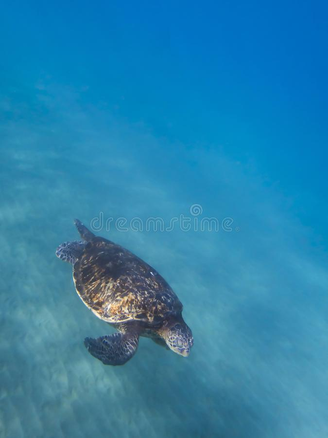 Green Sea Turtle Glides over Ocean Floor with Blue Water Background. Green Sea Turtle in foreground gliding over ocean floor with motion indicated in clear blue stock photography