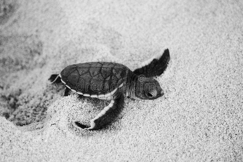 Green sea turtle hatchling on th beach. Green sea turtle hatchling coming out of a hole on the beach royalty free stock images