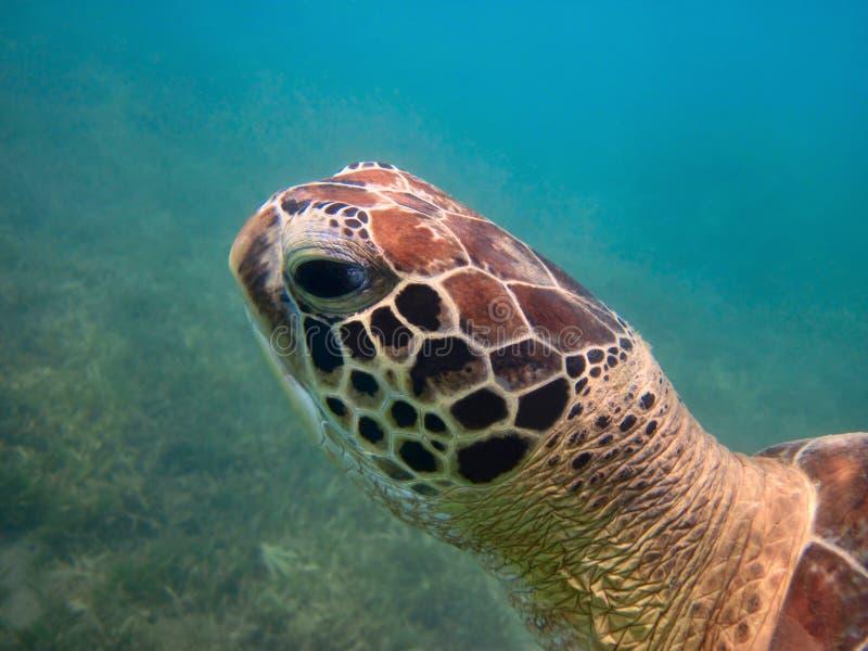 Green sea turtle head closeup stock photo