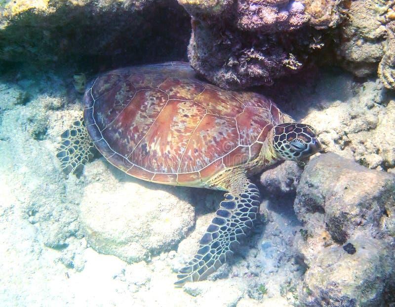 Green Sea Turtle at Green Island in Australia stock photos