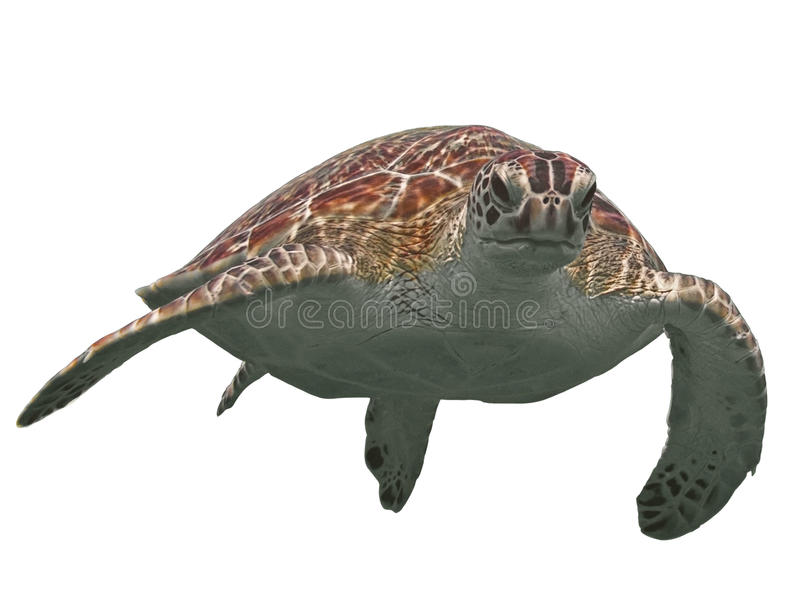 Green sea turtle isolated, tropical tortoise on white stock images