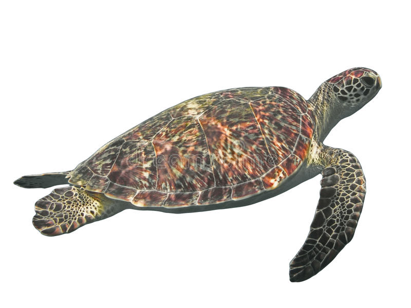 Green sea turtle isolated, tropical tortoise on white. Background stock images