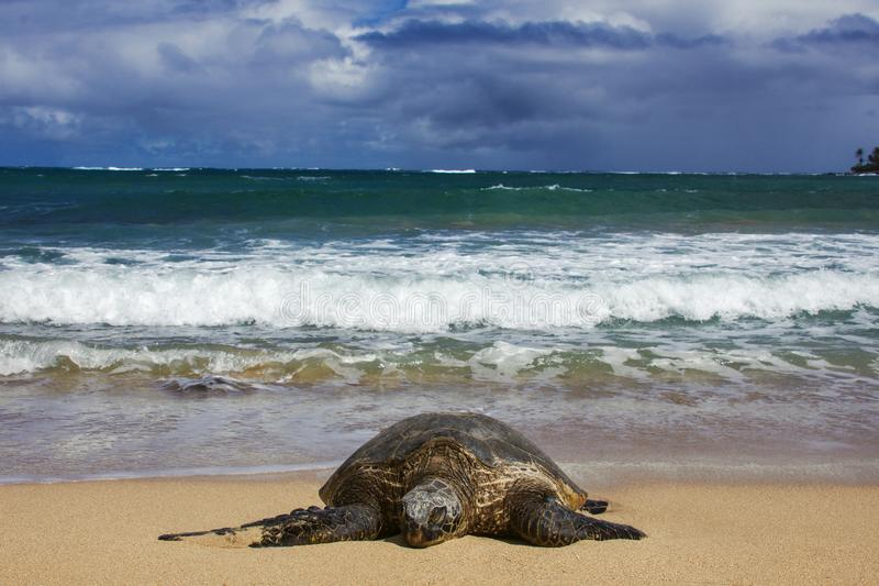 Green Sea Turtle Laying on the Beach wit Wave and Sky on the Back. This Green Sea turtles are laying in front of the Ocean on the warm sand in Maui Hawaii royalty free stock photo