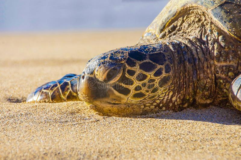 Green Sea Turtle Laying on the Sand in Maui Hawaii. This Green Sea Turtle is Laying on the Sand on the warm beach waiting for the summer in Maui Hawaii stock photos