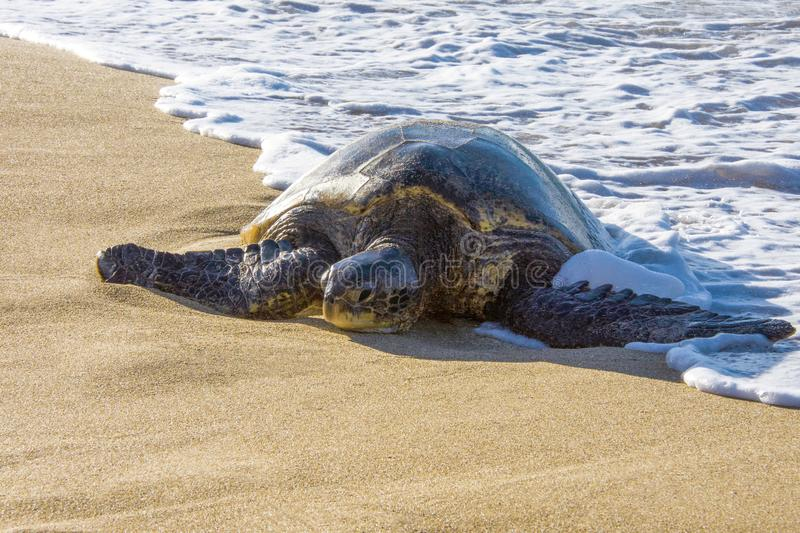 Green Sea Turtle Laying on the Sand with Ocean Foam around in Maui Hawaii. On a Sunny Day stock image