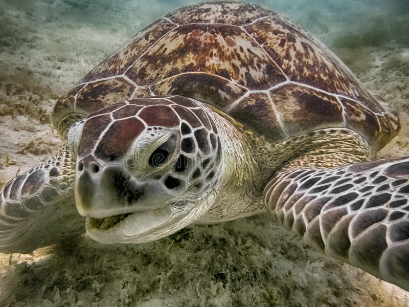 Green sea turtle. Marine Life in the Red Sea. Egypt royalty free stock photography