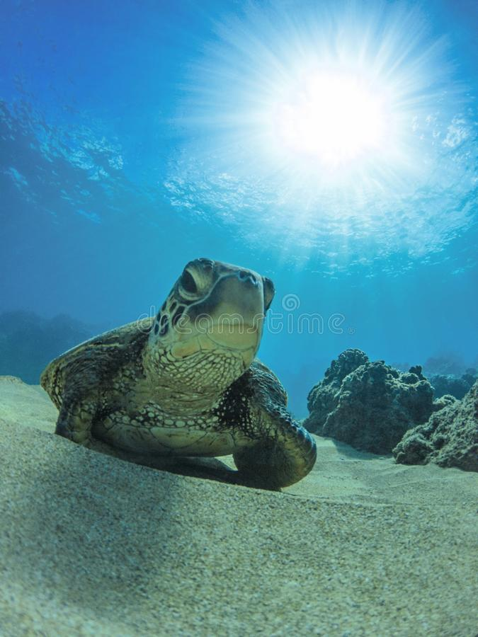 Green Sea Turtle Sitting on the Sand at Bottom of Ocean Maui Hawaii stock photography