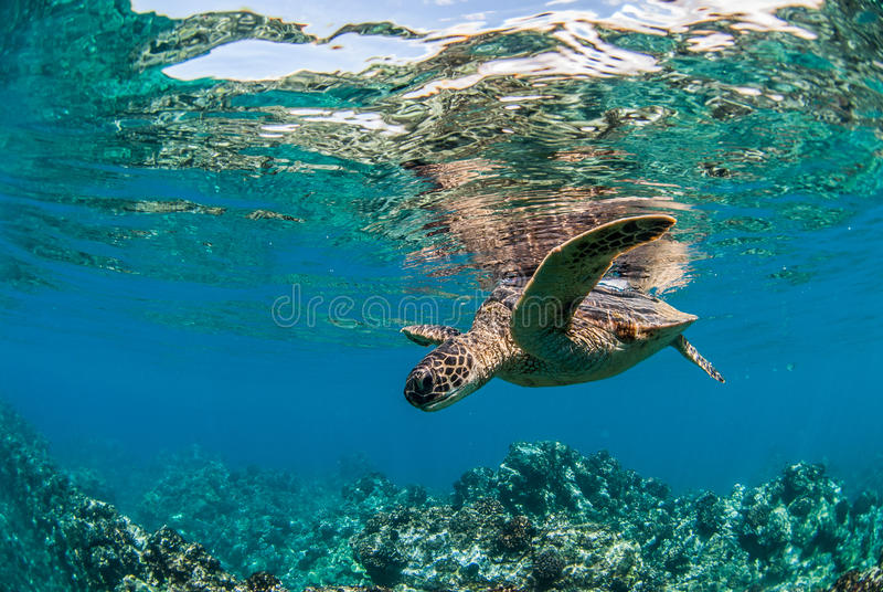 Green Sea Turtle in Maui, Hawaii. Green Sea Turtle swimming above the coral reef in Maui, Hawaii on a calm day stock image