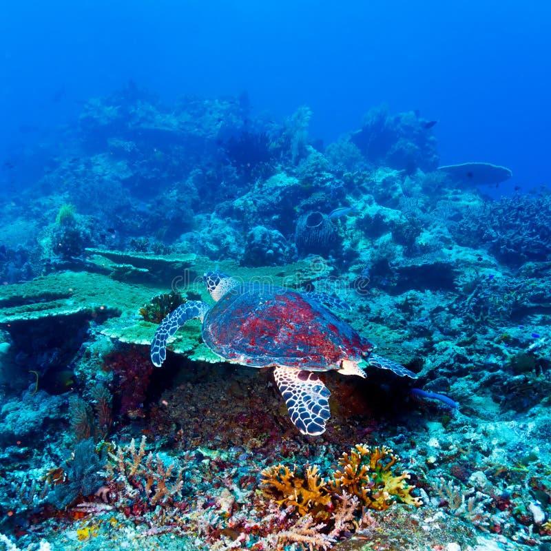 Green Sea Turtle near Coral Reef, Bali royalty free stock photo