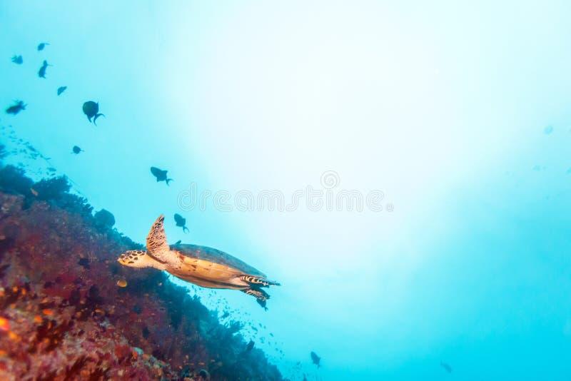 Green Sea Turtle near Coral Reef, Maldives stock image