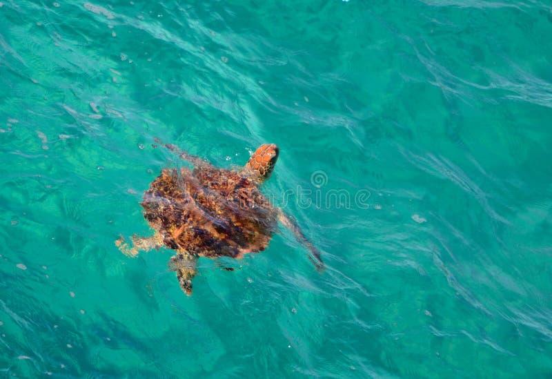 Green sea turtle. Of North Stradbroke Island, Queensland, Australia royalty free stock photography