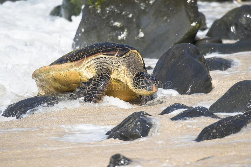 Green sea turtle overcoming rock obstacles to make it to bale of turtles stock image