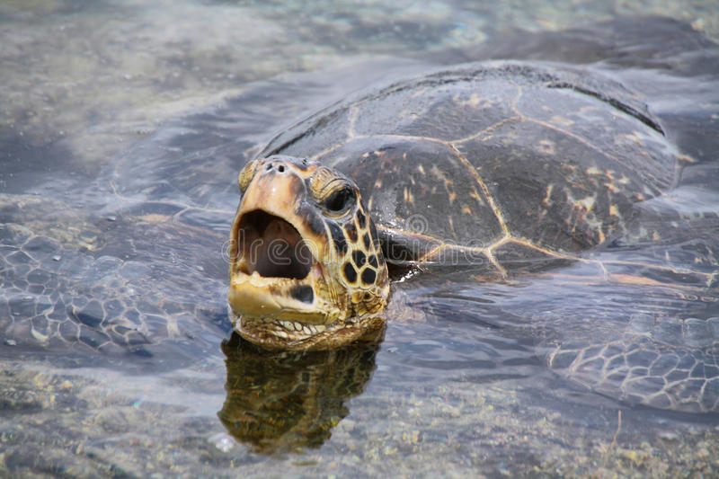 Green sea turtle. On Punalu'u Black Sand Beach in Big island, Hawaii royalty free stock images