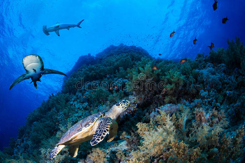 Green sea turtle in a reef with sharks. Red Sea, Egypt royalty free stock photography