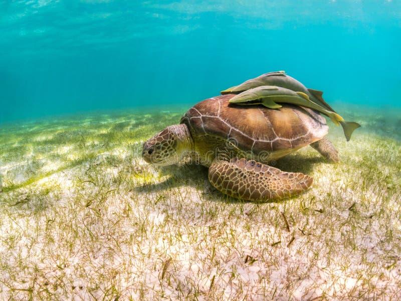 Green Sea Turtle with Sucker Fish on Shell - Akumal Beach, Yucatan, Mexico stock photos