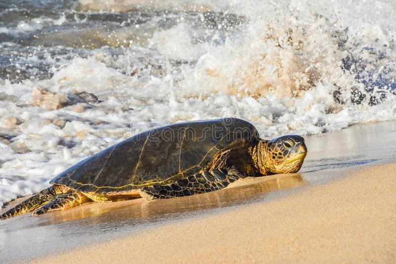 Green Sea Turtle on the Sand by the ocean with Splash in Maui Hawaii stock photos