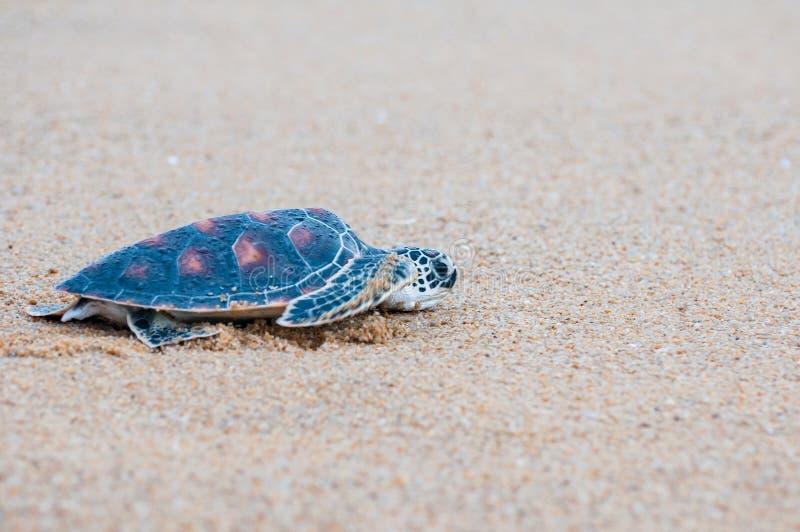 The green sea turtle Chelonia Mydas walking on the beach. Green sea turtle The scientific name is Chelonia Mydas. On the beach, walking down to the sea royalty free stock photos