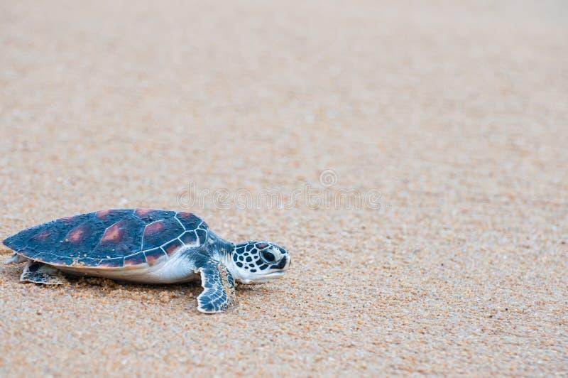 The green sea turtle Chelonia Mydas walking on the beach. Green sea turtle The scientific name is Chelonia Mydas. On the beach, walking down to the sea stock photography
