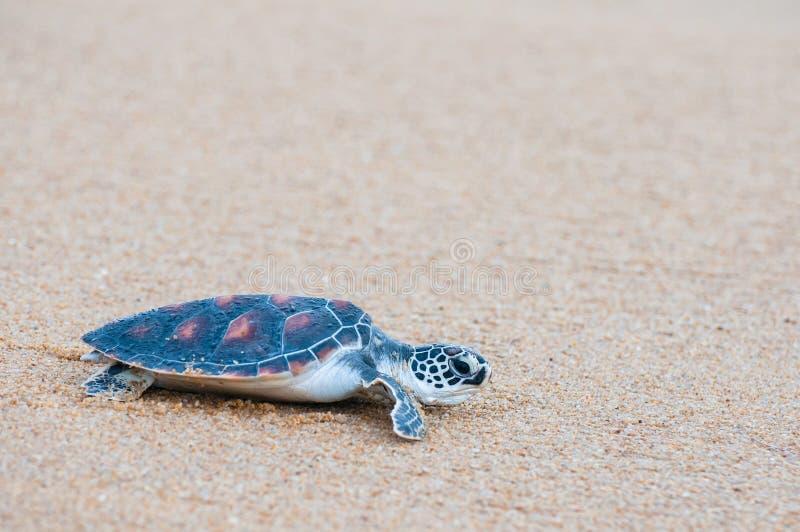 The green sea turtle Chelonia Mydas walking on the beach. Green sea turtle The scientific name is Chelonia Mydas. On the beach, walking down to the sea royalty free stock image