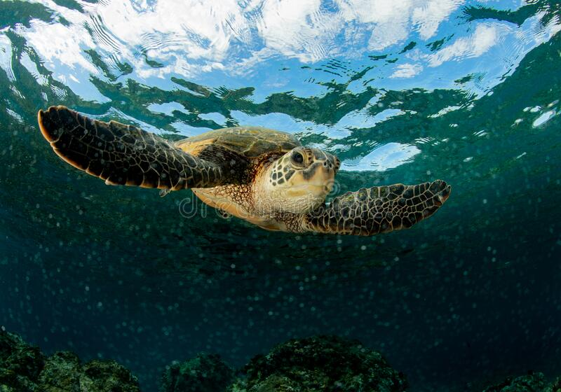 Green Sea Turtle On A Shallow Reef Stock Photo