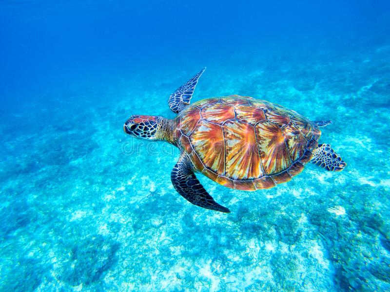 Green sea turtle in shallow seawater. Big green sea turtle closeup. Marine species in wild nature. royalty free stock photography