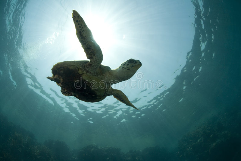 Green sea turtle silhouette. A green sea turtle swimming underwater, with rays of light and the ocean surface behind it