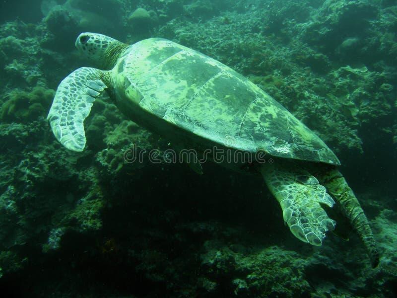 Green sea turtle sipadan coral reef royalty free stock photography