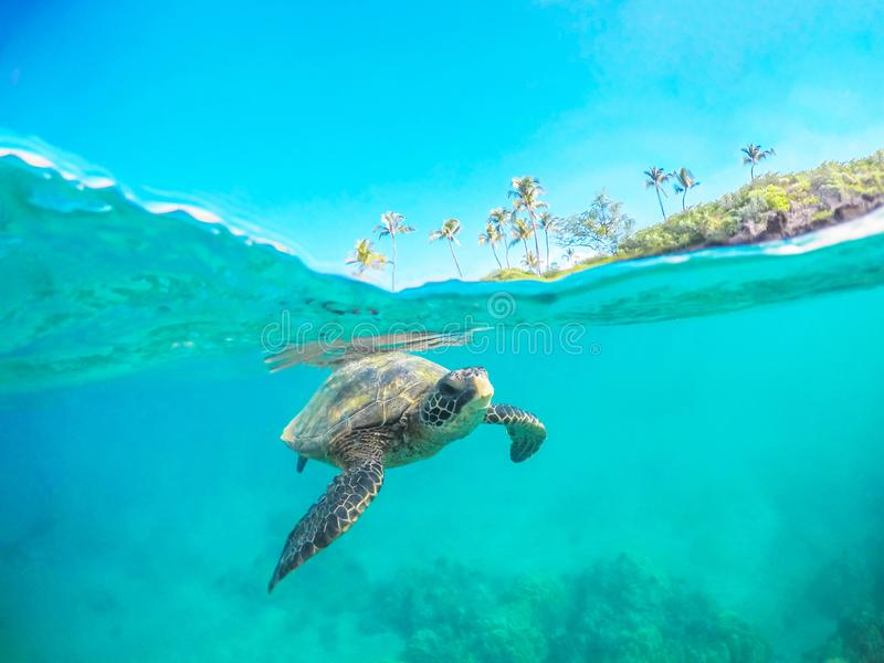 Green Sea Turtle Split Shot Swimming in Maui Hawaii. This green sea turtle is swimming in the warm waters of Maui Hawaii. This is a split shot so you can see the stock photography
